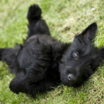 4 Ways to Obtain Optimal Health for Your Pet Scottie
