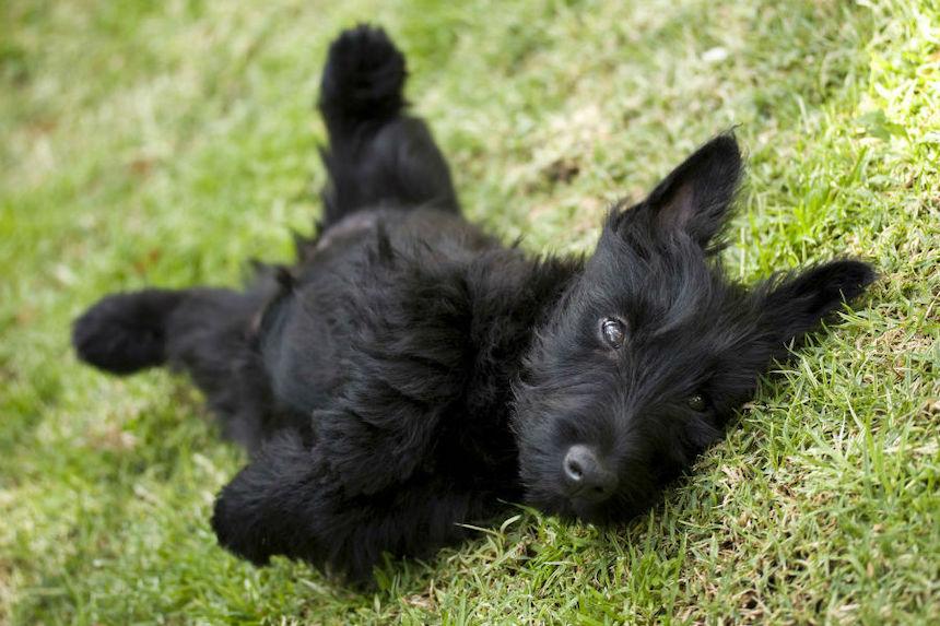 4-Ways-to-Obtain-Optimal-Health-for-Your-Pet-Scottie-acw-anne-cohen-writes-scottish-terrier