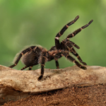 Tarantula 101: Things To Keep in Mind Before Buying a Pet Spider