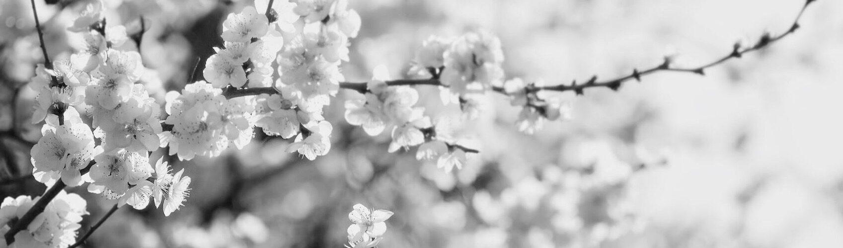 anne-cohen-writes-cherry-blossoms-gardening